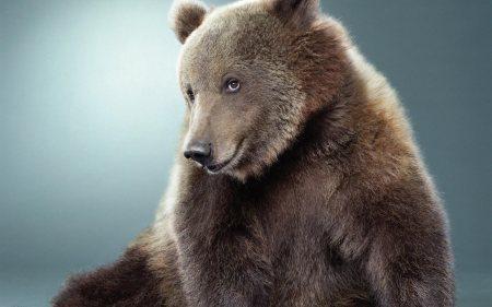 animals_widewallpaper_shy-bear_64865