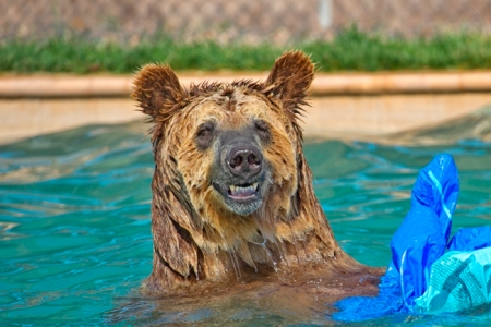 ###KAR5107_Grizzly-Bear-in-Pool-with-Pool-Toy-and-Grin_Cypress_700x467