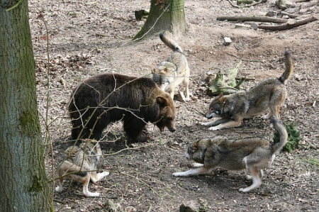 bear against wolves