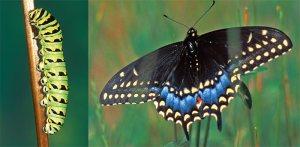butterflyA2